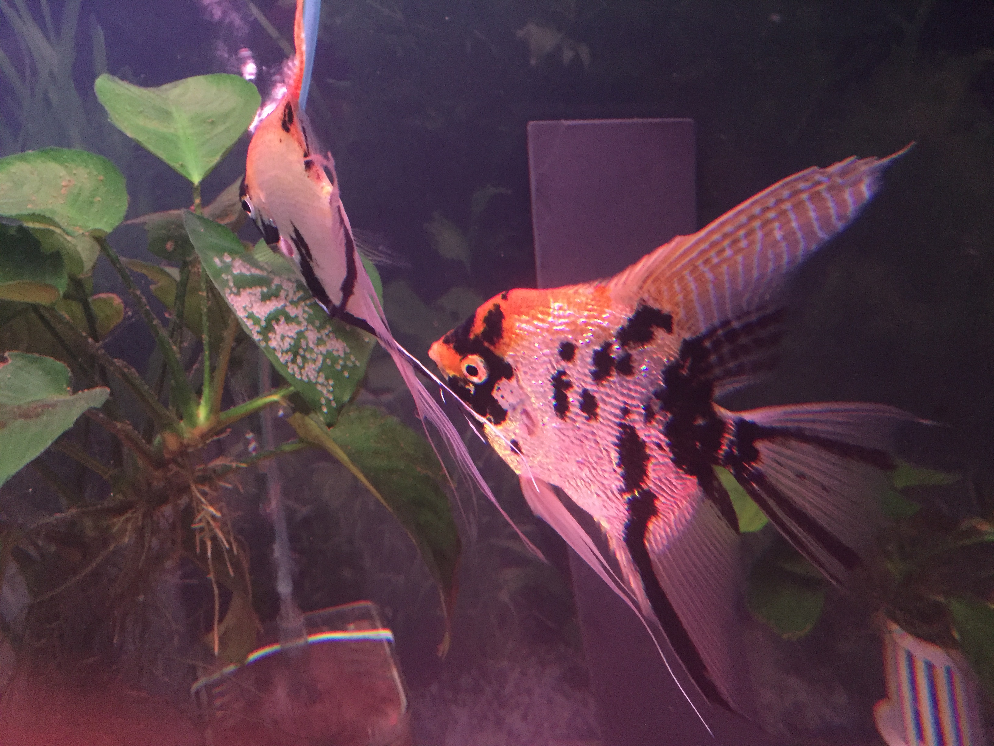 Gold Marble Pearscale angelfish pair with eggs (Pterophyllum Scalare)
