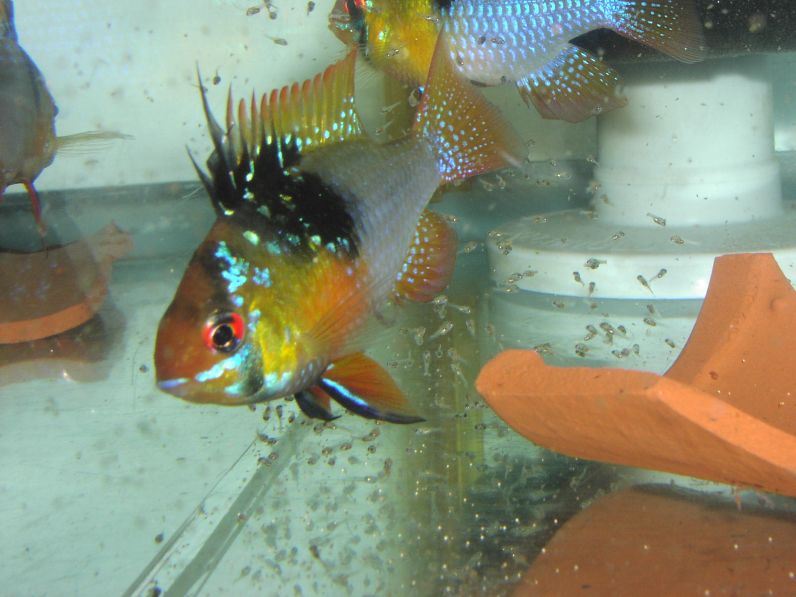German Blue Ram pair with fry (Mikrogeophagus ramirezi)