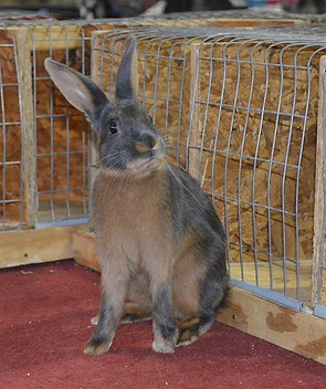 Blue Tan Rabbit Bred by Kelly Flynn of Blue Ribbon Rabbitry