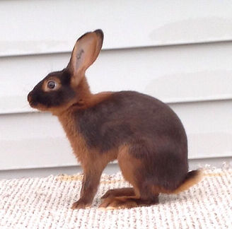 Flynn's Malibu - Chocolate Tan Rabbit Bred by Kelly Flynn of Blue Ribbon Rabbitry