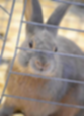 Flynn's Purple Rain - Lilac Tan Rabbit Bred by Kelly Flynn of Blue Ribbon Rabbitry