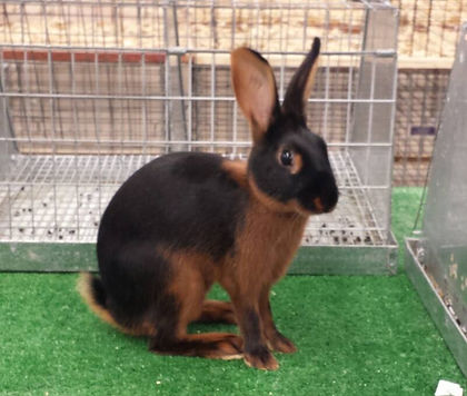 Flynn's Black Widow - Black Tan Rabbit - Bred by Kelly Flynn of Blue Ribbon Rabbitry