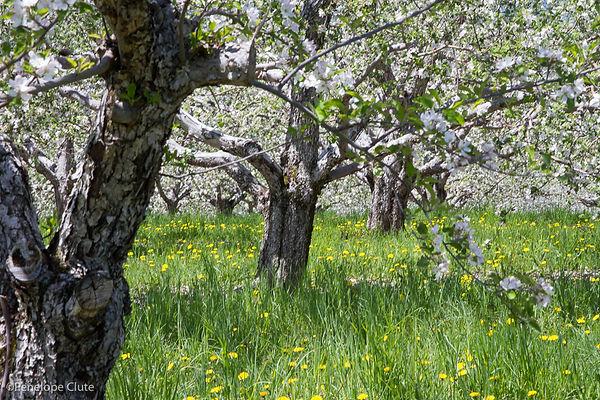 FA CP orchard