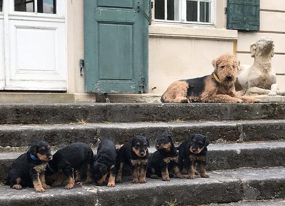 Airedale Terrierwelpen