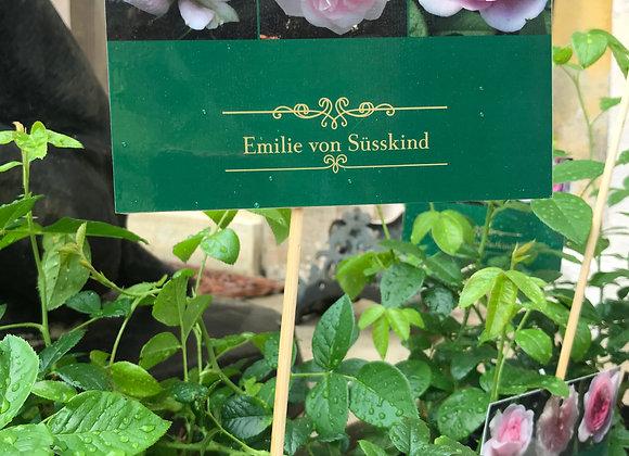 """""""Emilie von Süsskind"""" Rose"""