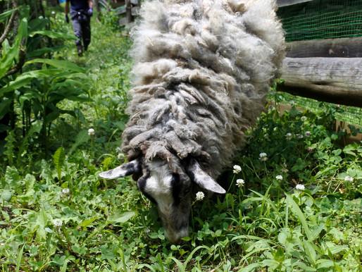 素材を知る!羊の毛を刈って染める・紡ぐ・織る