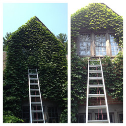 Window cleaning/Ivy Removal