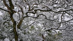 Snowy Magnolia