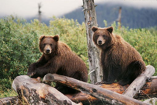 Two Brown Bears Sitting on a log in Alaska