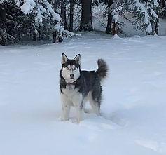 Sourdough Campgrounds Lakota Husky Dog
