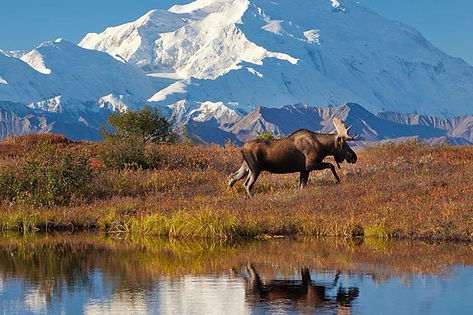 Mountains in back with moose walking near lake in Alaska