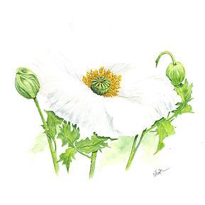 White Poppy Seed Oil.jpg