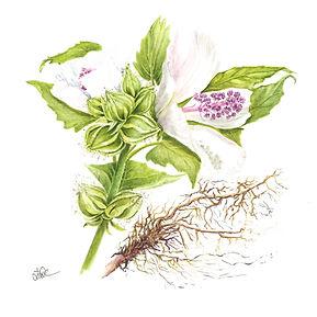 Marshmallow Root Oil Botanical.jpg