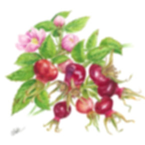 Rosehip Seed Oil Botanical.jpg