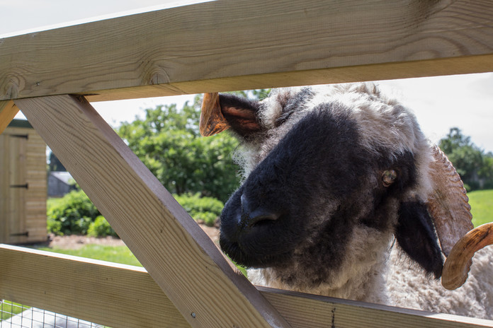 Noodle Valais Blacknose Beech Farm.jpg