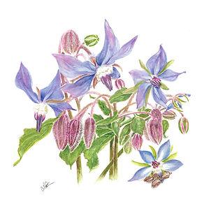 Borage Oil Botanical.jpg