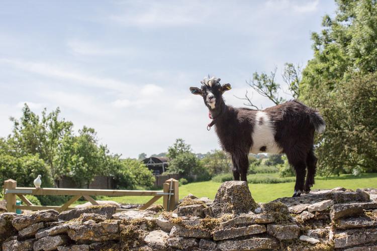 Pygmy Goat Beech Farm