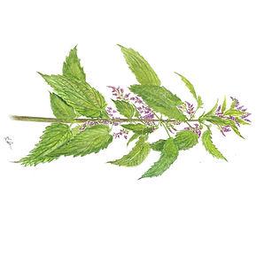 Nettle Botanical.jpg