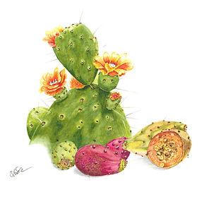 Prickly Pear Seed Oil Botanical.jpg