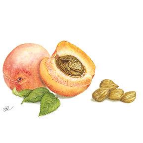 Apricot Kernel Oil Botanical.jpg