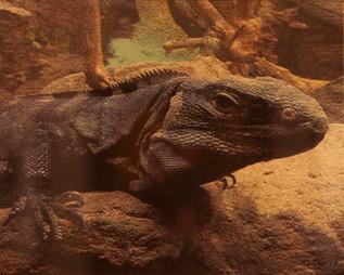 Zoo Lizard
