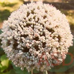 Circle Squared Bloom Allium