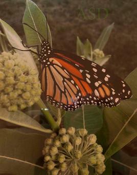 Monarch Rests