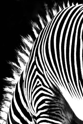 """Zebra"" by Christine Panyard"