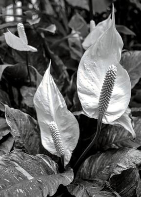 """""""Three Lilies"""" by Danny Rebb"""