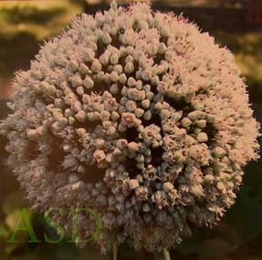 Circle Squared. Allium