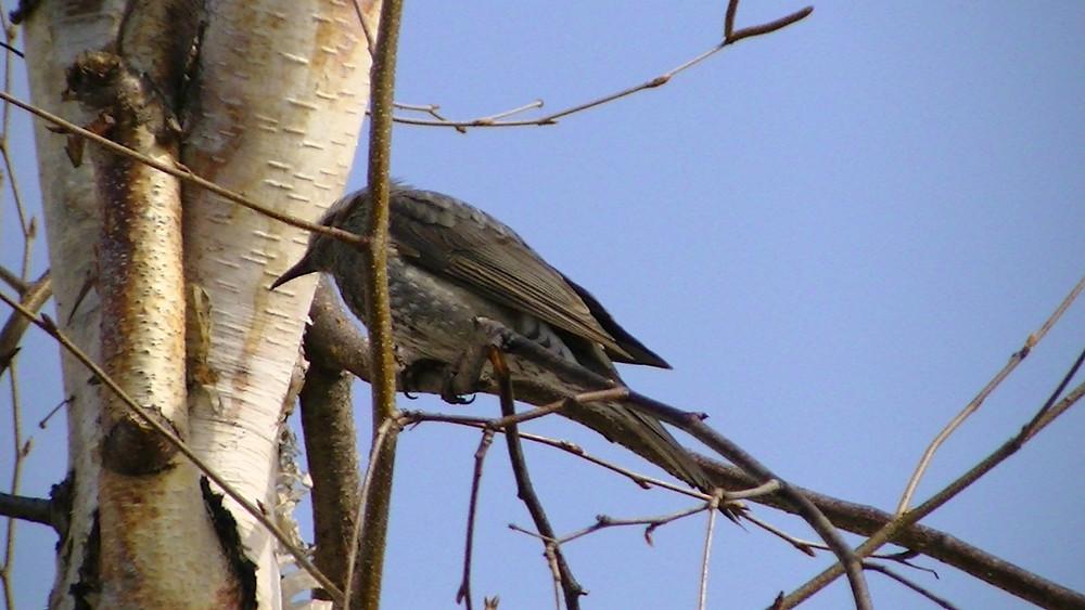 旭川の桜鳥