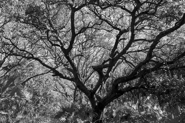 delray oaks tree
