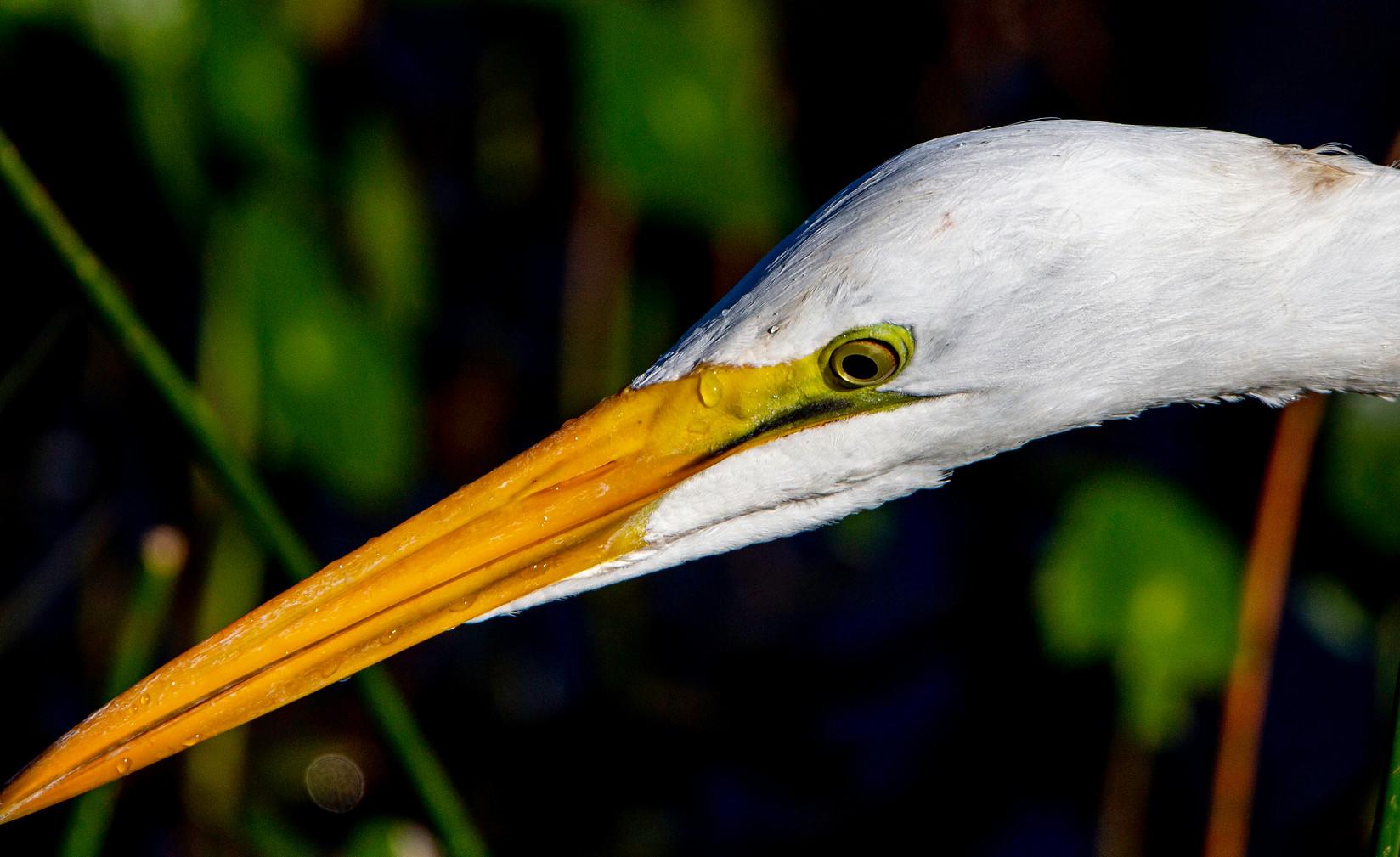 Great Egret  profile