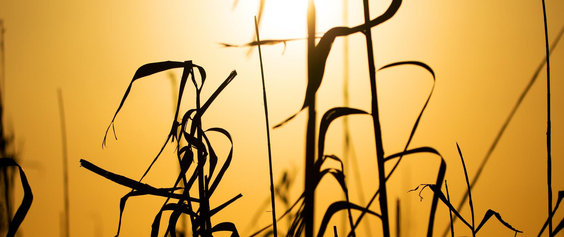 Fall Pampas Grass in sunset