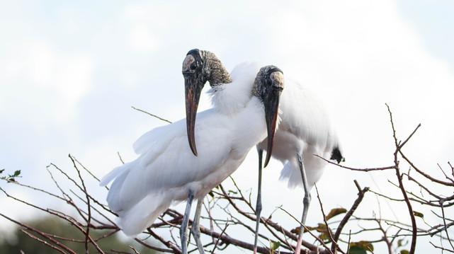 Wood Stork Pair