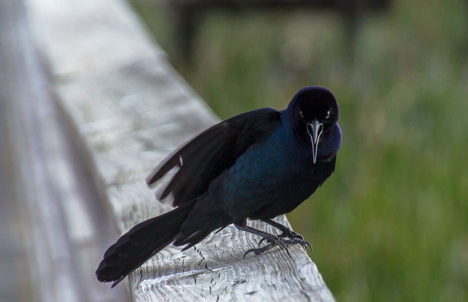 Angry Boat Tailed Grackle