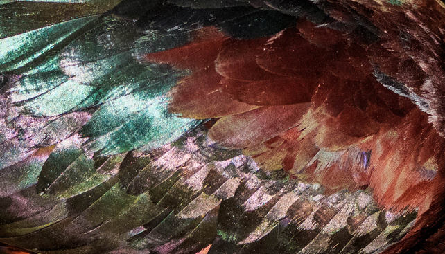 Glossy Ibis Feather Abstract