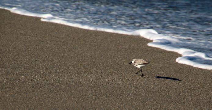 Sand Piper 2