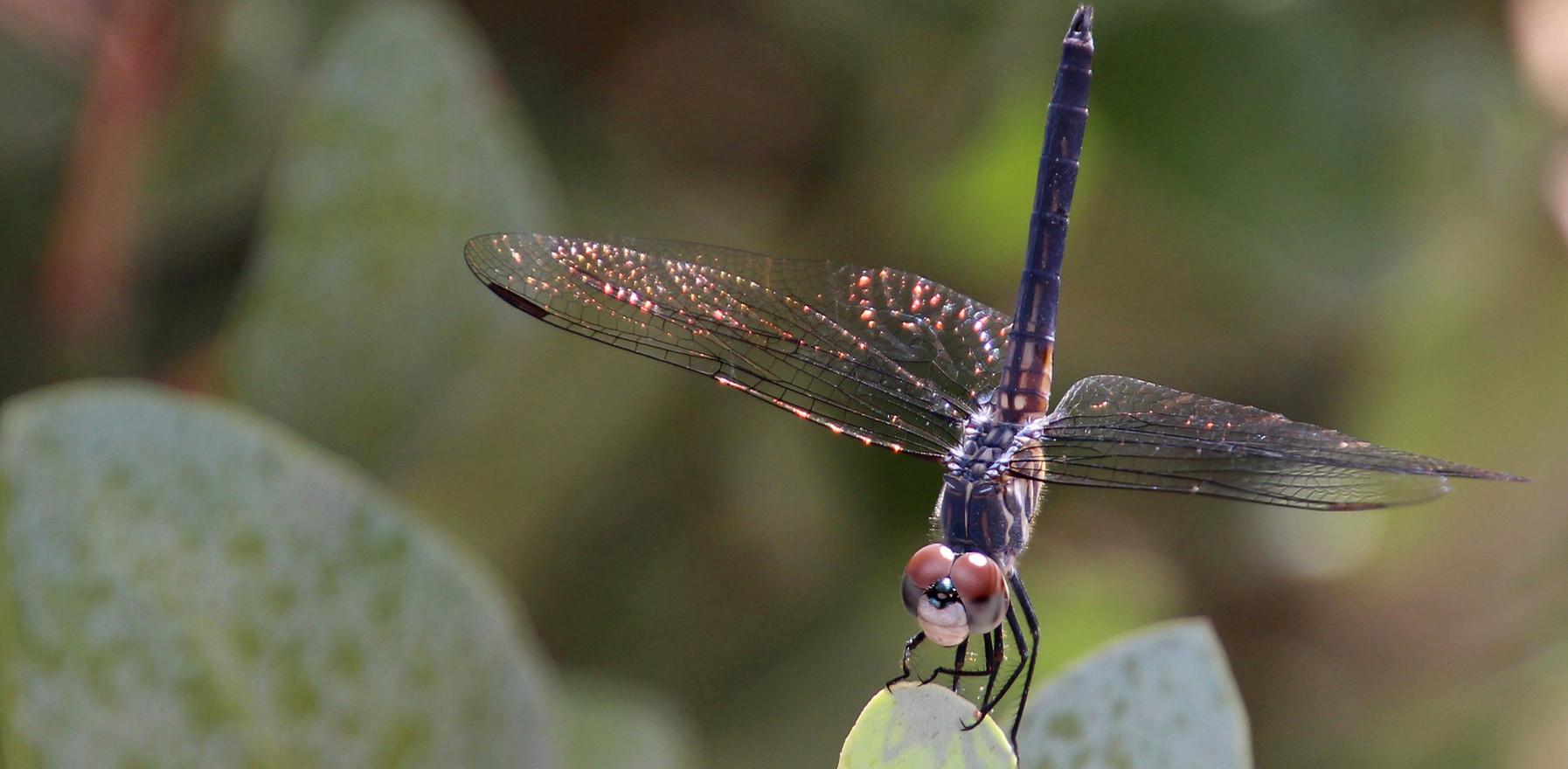Desert Dragonfly