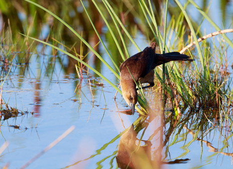 Female Boat Tailed Grackle