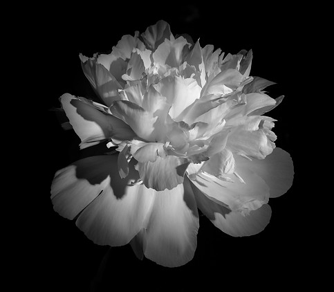 White Peony in Black and White