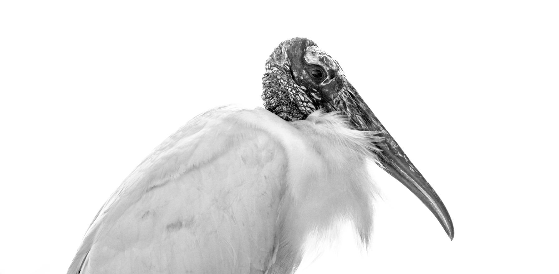 Wood Stork Profile