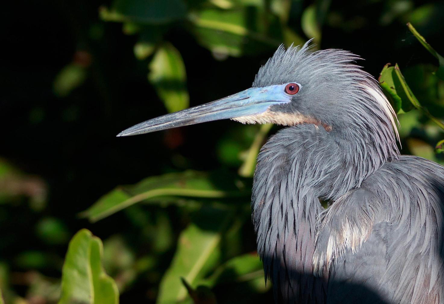 Tri Colored Heron Profile