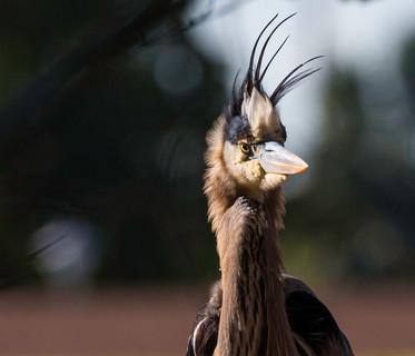 Great Blue Heron bad hair day