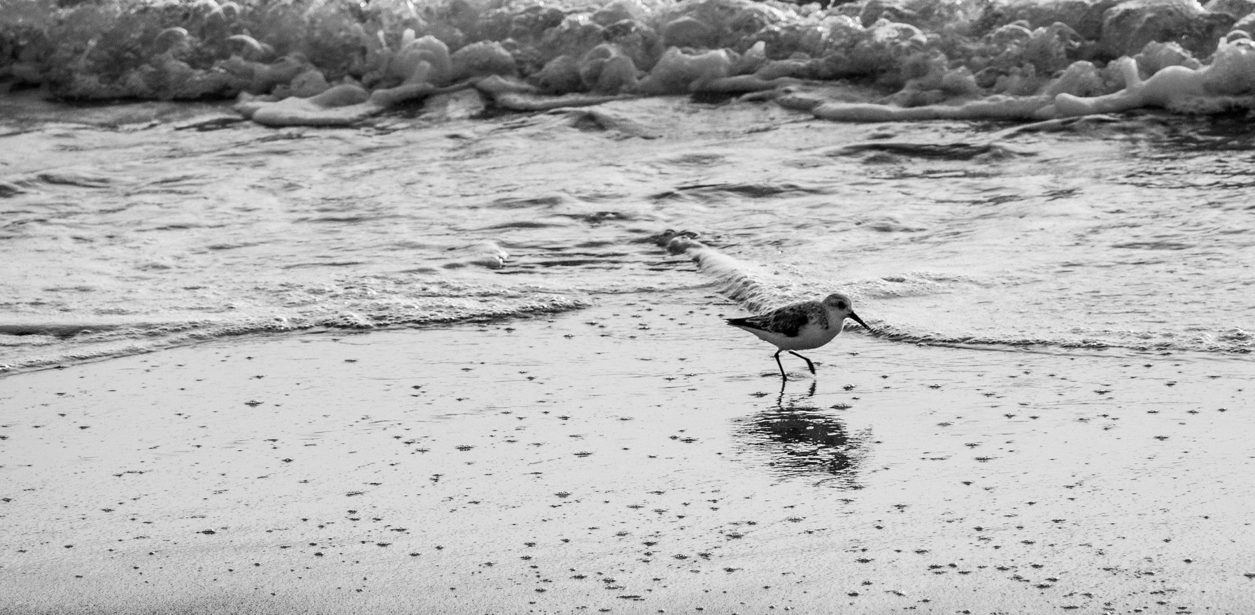 BW Sandpiper on Beach at Sunrise