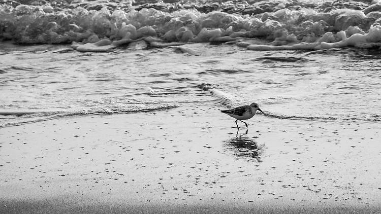 BW Sandpiper on Beach at Sunrise