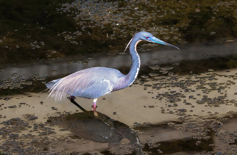 Tri Colored Heron 5