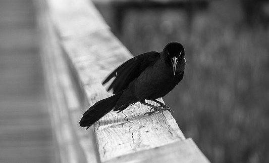 Boat Tailed Grackle BW