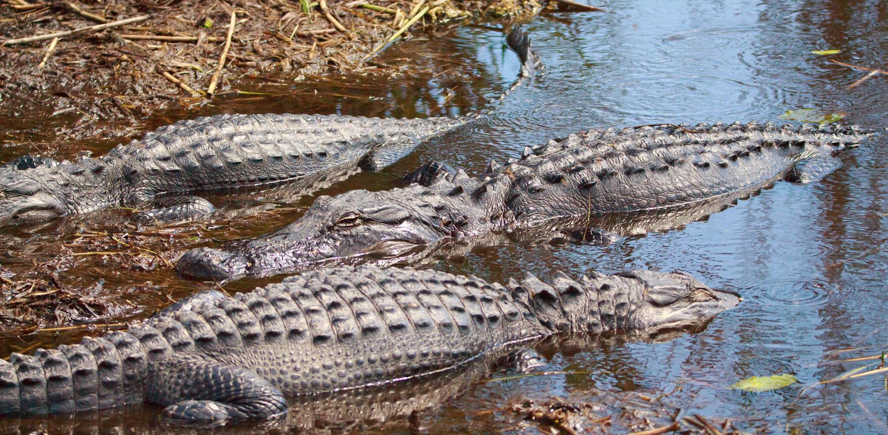 Alligators Basking