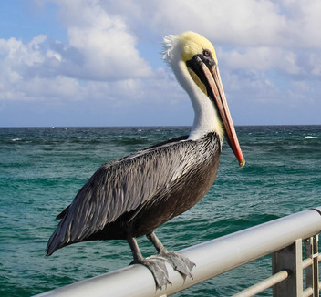 Pelican on the Pier
